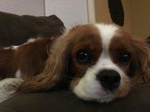 Occhi del cucciolo di cane Immagine Stock