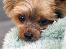 Occhi del cucciolo di cane Immagine Stock Libera da Diritti