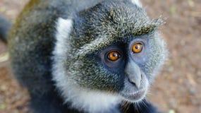 Occhi del fronte della scimmia Immagine Stock