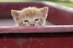 Occhi del gattino Immagine Stock