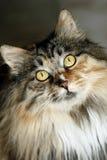 Occhi del gatto immagini stock libere da diritti