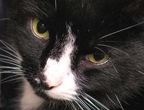 Occhi del gatto Fotografia Stock