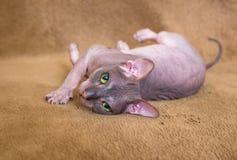Occhi del gatto della sfinge Fotografia Stock Libera da Diritti