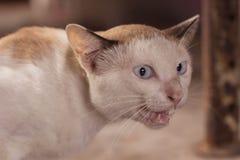 Occhi del gatto siamese Immagine Stock Libera da Diritti