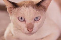 Occhi del gatto siamese Immagini Stock