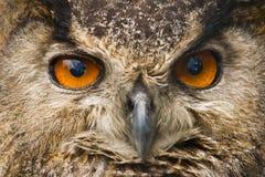 Occhi del gufo Fotografie Stock