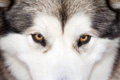 Occhi del husky Fotografia Stock