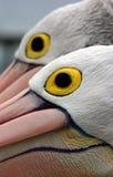 Occhi del pellicano Immagine Stock