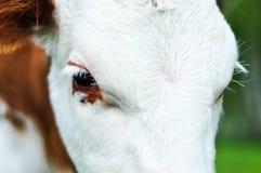 Occhi del ` s del vitello della mucca Immagine Stock Libera da Diritti