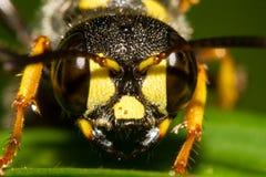 Occhi dell'insetto Fotografie Stock