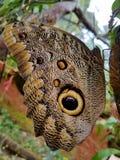 Occhi della farfalla Fotografia Stock