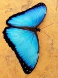 Occhi della farfalla Immagini Stock