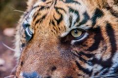 Occhi della fine della tigre siberiana su fotografia stock libera da diritti