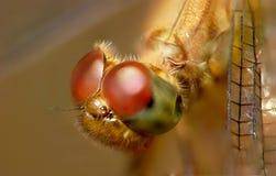 Occhi della libellula Immagine Stock