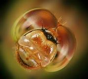Occhi della libellula. Fotografia Stock Libera da Diritti
