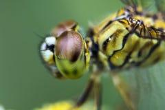 Occhi della libellula Fotographia a macroistruzione immagine stock