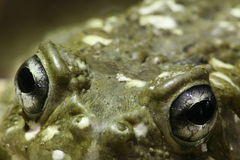 Occhi della rana Fotografia Stock Libera da Diritti