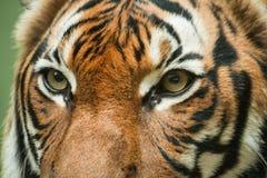 Occhi della tigre, Immagini Stock Libere da Diritti