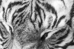 Occhi della tigre, Fotografia Stock