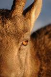 Occhi dello stambecco Fotografia Stock