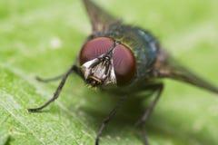 Occhi di colore rosso della mosca fotografie stock libere da diritti