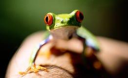 Occhi di colore rosso della rana verde Fotografia Stock