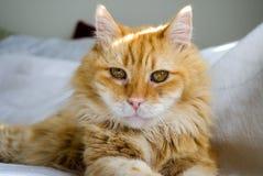 Occhi di gatti Fotografie Stock