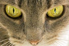 Occhi di gatti Fotografia Stock