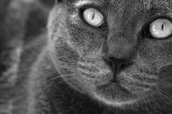 Occhi di gatto Fotografia Stock