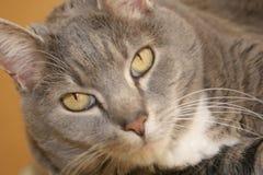 Occhi di gatto Fotografie Stock Libere da Diritti