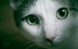 Occhi di gatto Immagini Stock