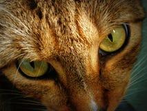 Occhi di gatto Immagini Stock Libere da Diritti
