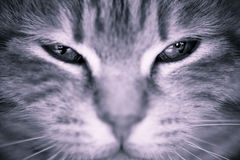 Occhi di gatto Immagine Stock