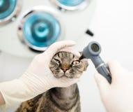 Occhi di gatto d'esame dell'animale domestico di medico del veterinario immagine stock