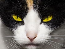 Occhi di gatto diabolici severi e predatori fotografie stock