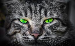Occhi di gatto diabolici severi e predatori Fotografie Stock Libere da Diritti