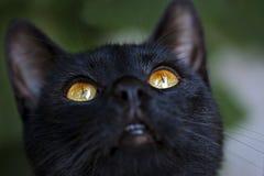 Occhi di gatto nero Fotografie Stock