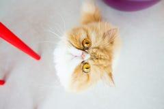 Occhi di gatto persiano Fotografia Stock