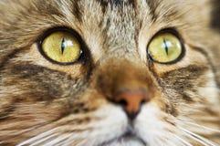 Occhi di gatto, primo piano Fotografia Stock