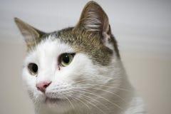 Occhi di gatto verdi e gialli fotografia stock