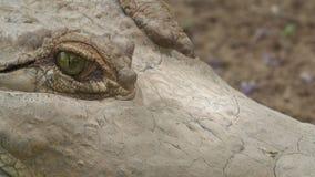 Occhi di lampeggiamento del coccodrillo dell'Orinoco, Colombia video d archivio
