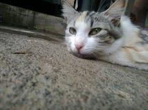 occhi di piercing del gatto Fotografie Stock