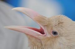 Occhi di Raven Fotografie Stock Libere da Diritti