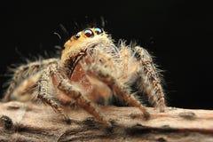 Occhi di salto del dettaglio del ragno beautyful fotografia stock libera da diritti