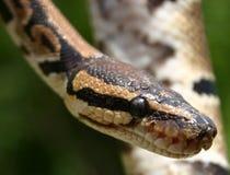 Occhi di serpente Fotografia Stock