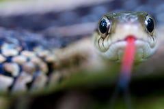 Occhi di serpente della giarrettiera Fotografie Stock Libere da Diritti