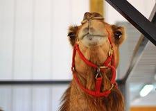 Occhi divertenti del cammello Immagine Stock