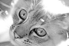 Occhi e fronte di gatti bianchi neri del primo piano del ritratto Immagini Stock