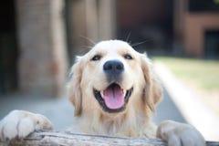 Occhi sorridenti del cane di golden retriever vicino sul fuoco su una palude di legno fotografia stock libera da diritti