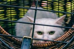 Occhi verdi del wirth bianco del gatto Immagini Stock Libere da Diritti
